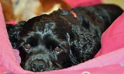 Black cocker spaniel puppy, he'll be neutered at six months