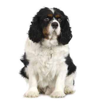 This Cavalier King Charles Spaniel is gorgeous, but he could do with losing a couple of pounds!
