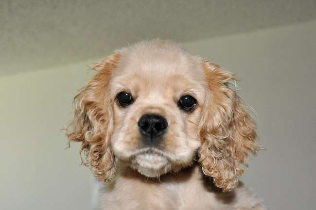 Cute buff colored cocker spaniel: Just make sure you have full health insurance for him!