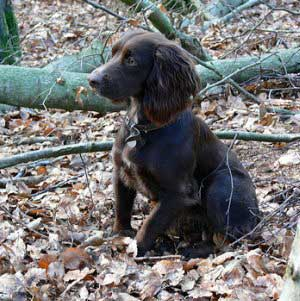 Beautiful cocker springer mix - watch out for poisonous plants when he's rummaging in the forest!