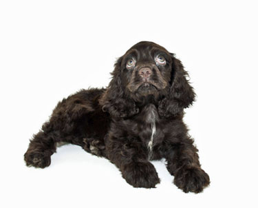 Black and brown cocker spaniel puppy with adorable pale blue eyes!