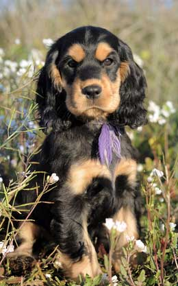 Gorgeous black and tan puppy sitting in meadow of white wildflowers, wearing purple ribbon around his neck.