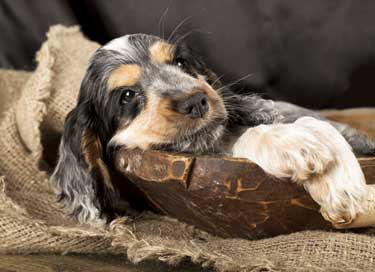 Tri-colour Cocker spaniel puppy lying in a carved wooden bowl and sack cloth. He looks comfy!