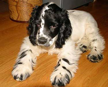 Black and white cocker spaniel puppy with unusual zebra-striped legs.