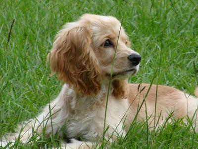 Gorgeous buff-coloured cocker spaniel puppy lying in the grass