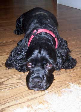Black cocker spaniel lying on wooden floor, wearing red collar