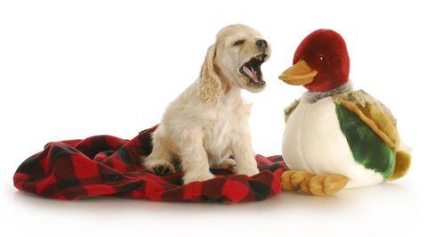Golden cocker spaniel puppy barking, sitting on red and black blanket