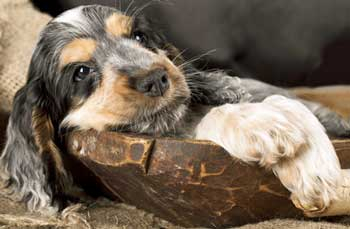 Cocker spaniel puppy lying in a carved wooden bowl