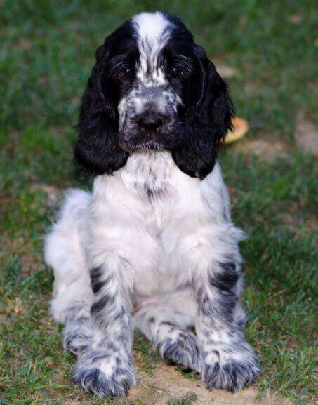 Thankfully, this lovely cocker spaniel puppy, Dara, doesn't eat poop!
