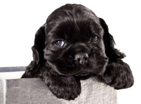 Cute black cocker spaniel puppy in metal pot