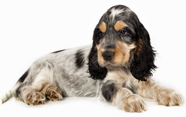 Black and tan roan cocker spaniel puppy