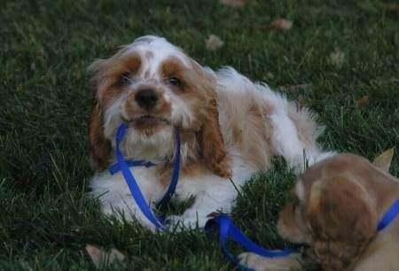 Orange roan cocker spaniel puppy playing with blue nylon leash