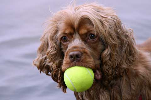 Gorgeous golden cocker spaniel with tennis ball in his mouth. Background, water