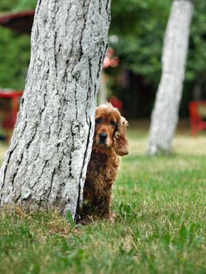 Gloden cocker spaniel half hidden behind a tree. Looks like he's playing hide and seek.