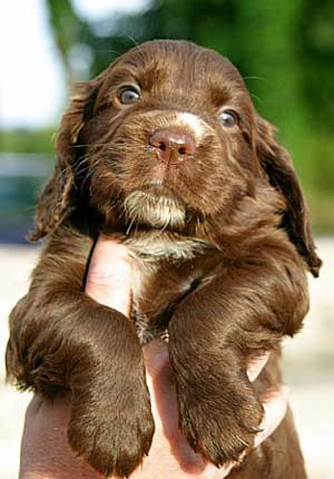 Chocolate cocker spaniel puppy, held in hand - so cute!