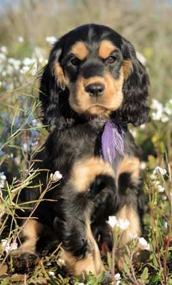 Black and tan cocker spaniel puppy sitting in meadow