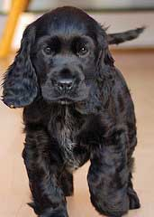 Cute black cocker spaniel puppy, with tail