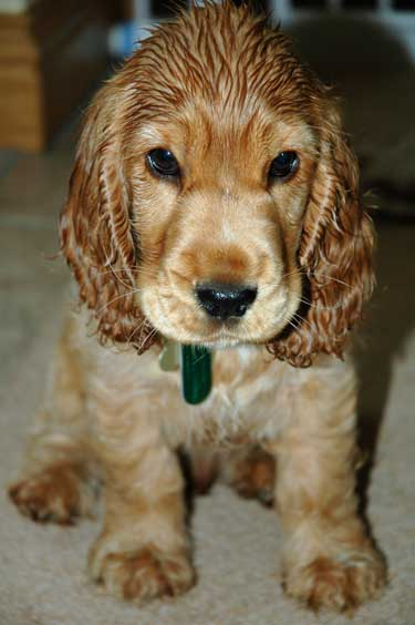 Max, our cocker puppy still wet after his bath!