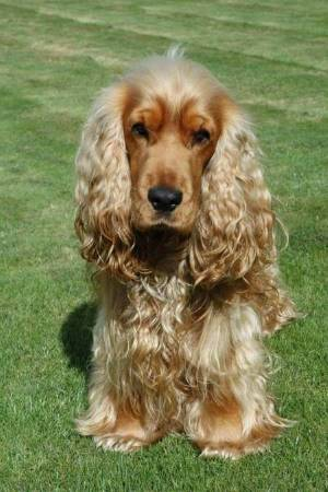 Golden cocker spaniel sitting on the grass on a sunny day