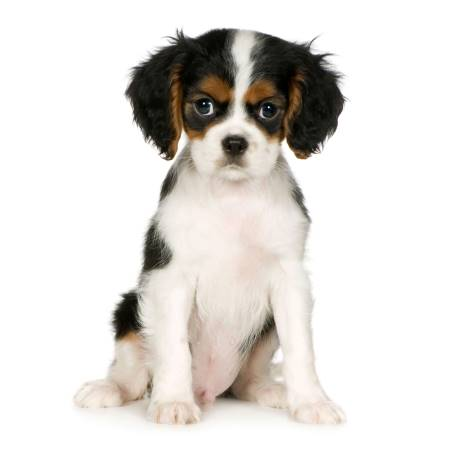 White, black and tan cavalier king charles spaniel puppy training to sit on command. White background.