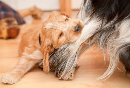 Golden cocker spaniel puppy biting another dog's leg - naughty!
