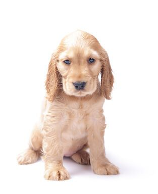 Cute little golden cocker puppy sitting quietly. He looks sad, doesn't he?