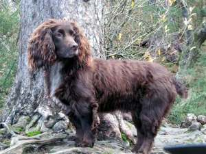 Beautiful brown working cocker spaniel ready for the hunt