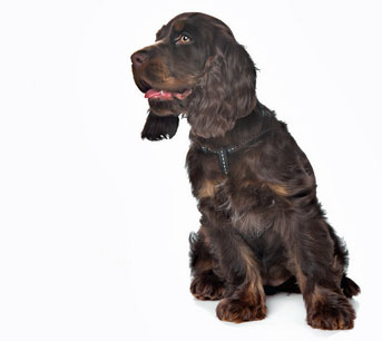 Cocker spaniel with a beautiful chocolate colored coat.