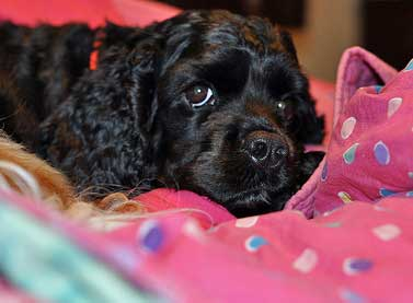 Black cocker spaniel puppy with wonderfully shiny coat - that's what healthy dog food can do for you!