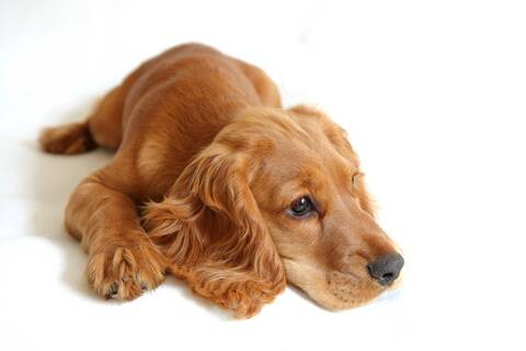 This golden cocker spaniel doesn't seem to be suffering from separaton anxiety