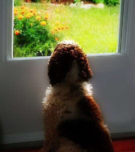 Anxious cocker spaniel waiting by the back door