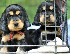 Sibling Rivalry With Two Cocker Spaniel Puppies