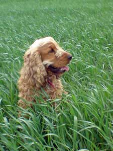 My golden cocker spaniel, Max, in grassy field, panting