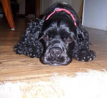 Black cocker spaniel lying on wooden floor, doesn't he look fed up?