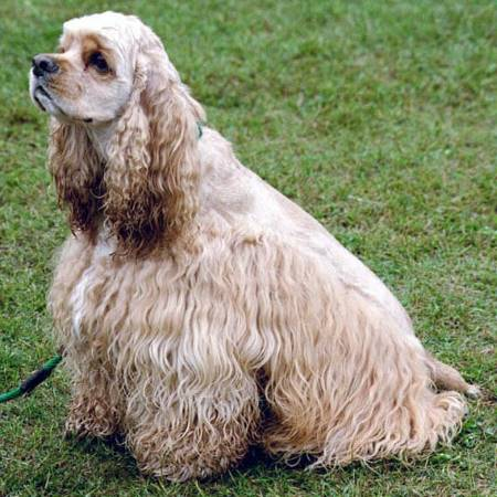 An example of a golden, American cocker spaniel, sitting on the grass.