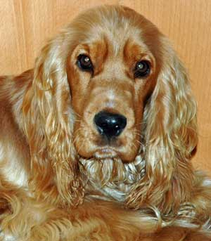This golden cocker spaniel combats diabetes with a good diet and lots of exercise!