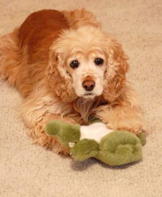 Molly, the golden cocker spaniel playing with her frog