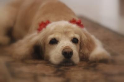 Beautiful golden cocker spaniel with red ribbon in her hair