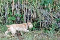 Max, my golden cocker spaniel exploring the undergrowth
