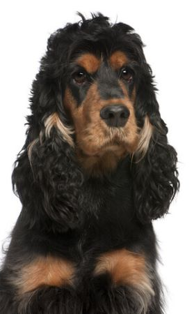 Black and tan English cocker spaniel - fully toilet trained!