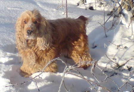 Max, our cocker spaniel, enjoying the sun in a snow covered garden