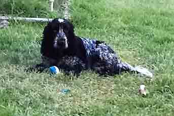 Nora, my lovely cocker spaniel, lying on the grass waiting for her next instruction