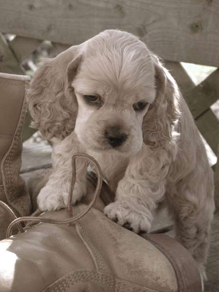 Cute buff colored cocker spaniel puppy climbing over leather boots