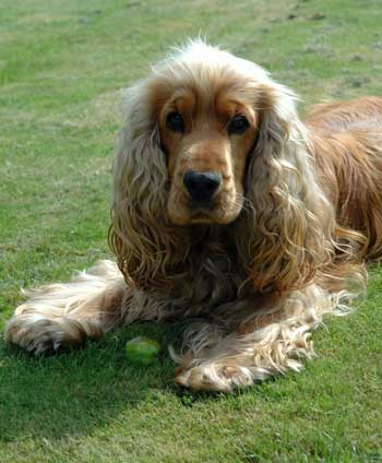 Golden cocker spaniel lying on the grass. Training your puppy to drop it on command could save his life!