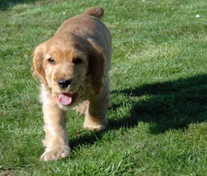 Golden cocker spaniel puppy being trained to 'Stand' on command.