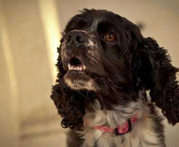 Why Is My Cocker Spaniel Aggressive Towards Other Dogs?