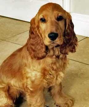 Alfie, the golden cocker spaniel puppy having his photo taken sitting in the kitchen.