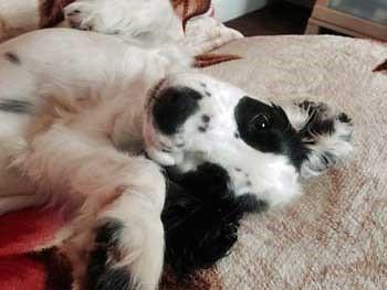 Black and white cocker spaniel lying on her back