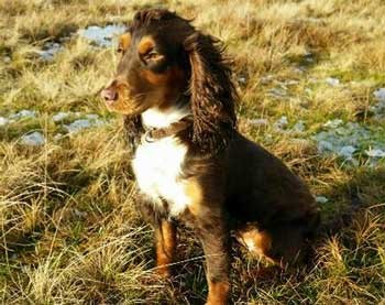 Black and tan cocker spaniel sitting in a field.