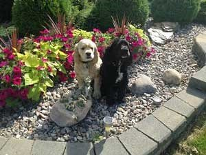 Two cocker spaniels sitting in a flower bed